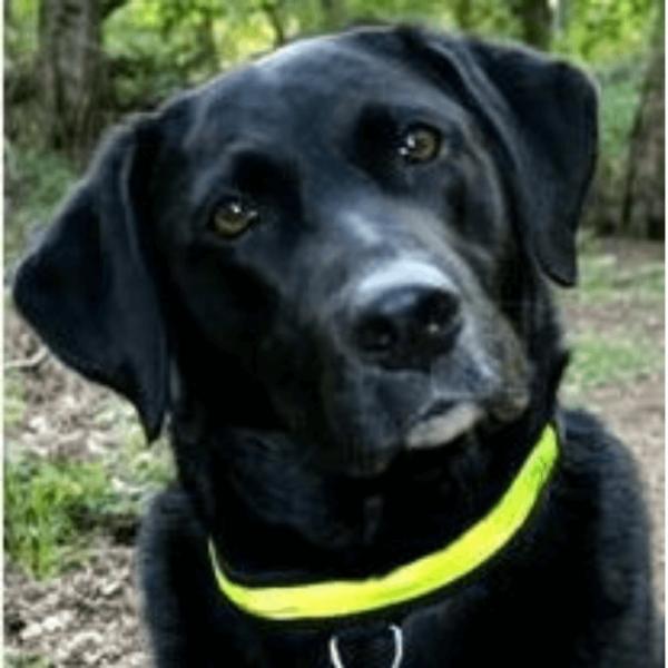 Equisafety Flashing Dog Collar yellow